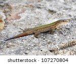 Ibiza Lizard  Podarcis...