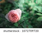 pink rose with warm light in... | Shutterstock . vector #1072709720