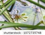 large water spider dolomedes... | Shutterstock . vector #1072735748
