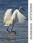 snowy egret in st andrews st... | Shutterstock . vector #1072763564