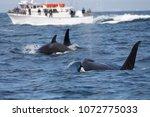 killer whale   orcinus orca | Shutterstock . vector #1072775033