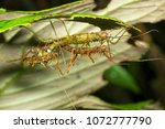 spiny stick insects ... | Shutterstock . vector #1072777790