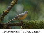 Small photo of Spectacled Barwing (Actinodura ramsayi) bird in nature Thailand