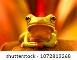 tree frogs  dumpy frogs ... | Shutterstock . vector #1072813268