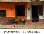 Cow Against Beautiful Facade Of ...