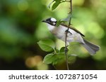 chinese bulbul or light vented...   Shutterstock . vector #1072871054
