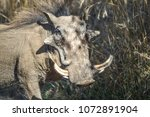 common african warthog in... | Shutterstock . vector #1072891904