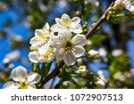 young cherry blossom in spring... | Shutterstock . vector #1072907513
