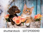 Stock photo cat and dog dachshund puppy chocolate color and kitten red 1072930040