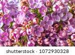 blossom of purple lilac  | Shutterstock . vector #1072930328