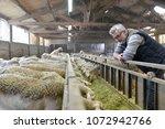 breeder in barn looking at... | Shutterstock . vector #1072942766