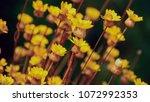 yellow flower plant   Shutterstock . vector #1072992353