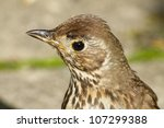 Young British Song Thrush bird (Turdus philomelos) close up. - stock photo