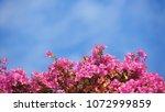 bougainvillea flower plant   Shutterstock . vector #1072999859
