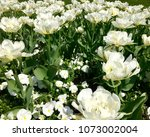 garden of white tulips | Shutterstock . vector #1073002004