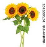 three wonderful sunflowers ... | Shutterstock . vector #1073003606