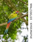 great green macaw   ara ambigua ... | Shutterstock . vector #1073017466