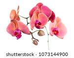 red orchid flower on white...   Shutterstock . vector #1073144900