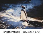 Group Of Humboldt Penguins...