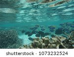 Small photo of Powderblue surgeonfish (Acanthurus leucosternon)