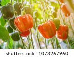sunlight red and green peppers... | Shutterstock . vector #1073267960