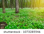 Forest In Spring Covered With...