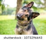 a friendly german shepherd dog... | Shutterstock . vector #1073296643