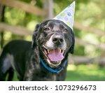 a black labrador retriever dog...   Shutterstock . vector #1073296673
