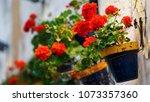 Geranium Flowers On Wall...