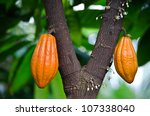 Orange Pods On Cocoa Tree