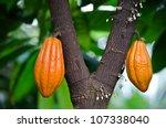 Orange Pods On Cocoa Tree