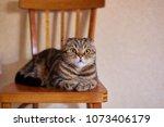 Funny Scottish Fold Cat Sittin...