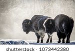 Two Bull Bison In Profile...