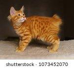 Stock photo lovely red thoroughbred kitten breed kurilian bobtail hypoallergenic breed of cats 1073452070