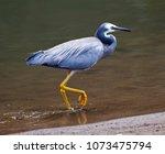 White faced heron. Elegant medium sized bird walks along shore in Queensland Australia.