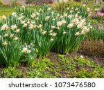 lent lily  narcissus... | Shutterstock . vector #1073476580