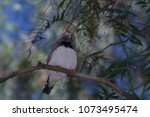 a zebra finch perched above on... | Shutterstock . vector #1073495474