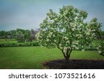 a bush of white lilac in the... | Shutterstock . vector #1073521616