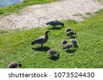 cute ducks on a grass | Shutterstock . vector #1073524430