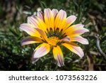 flowers in full bloom. | Shutterstock . vector #1073563226