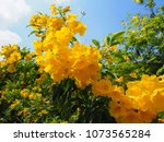 Blooming Tecoma Stans Tree Wit...