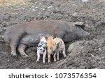 three piglets suckling from... | Shutterstock . vector #1073576354