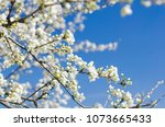 branch of a blossoming tree... | Shutterstock . vector #1073665433