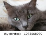 cute grey cat closeup | Shutterstock . vector #1073668070