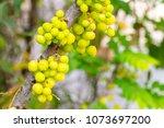 young star gooseberry fruit...   Shutterstock . vector #1073697200
