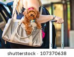 A Miniature Poodle Dog In A...