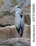 gray heron  ardea cinerea  | Shutterstock . vector #1073740880