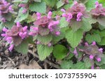 Small photo of Red Dead Nettle