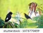 white vented myna  great myna... | Shutterstock . vector #1073770859