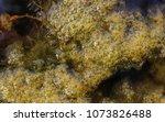 swamp algae. green algae... | Shutterstock . vector #1073826488